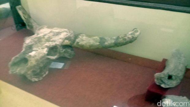 Fosil kepala kerbau (Sugeng/detikTravel)