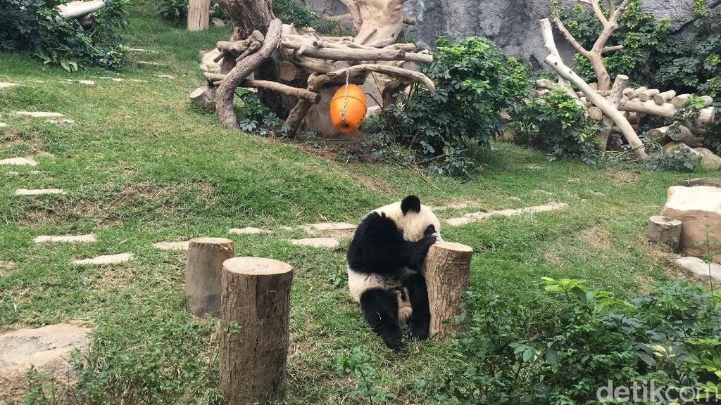 Gemas! Melihat Langsung Panda di China