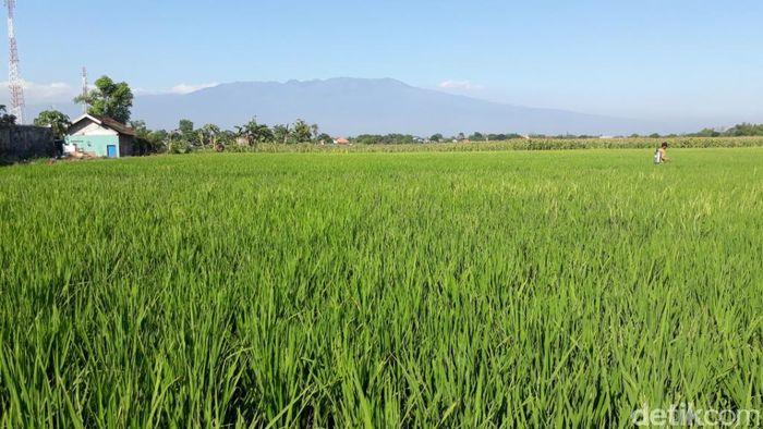 Ilustrasi lahan pertanian (Foto: Muhajir Arifin)