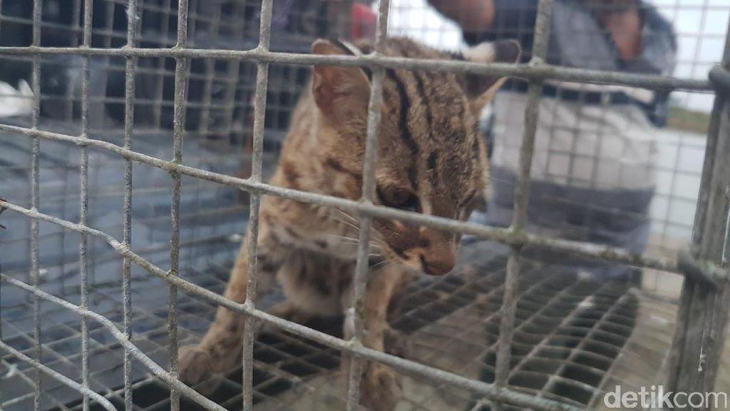 Warga Jambi Serahkan Kucing Hutan ke BKSDA