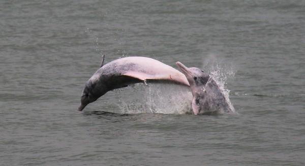 Foto: Proyek tersebut akan melibatkan 650 hektar lahan reklamasi yang secara signifikan mengurangi habitat lumba-lumba pink dan selanjutnya membatasi ruang gerakan mereka (Foto: Dok. BBC Travel)