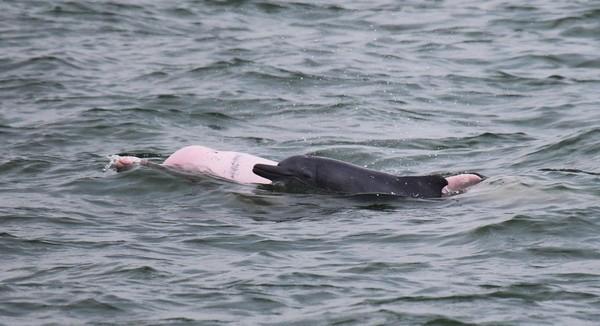 Foto: Tahun 2013, tercatat ada 158 ekor lumba-lumba pink di perairan Hong Kong. Di tahun 2014, populasinya tinggal 61 ekor saja! (Foto: Dok. BBC Travel)