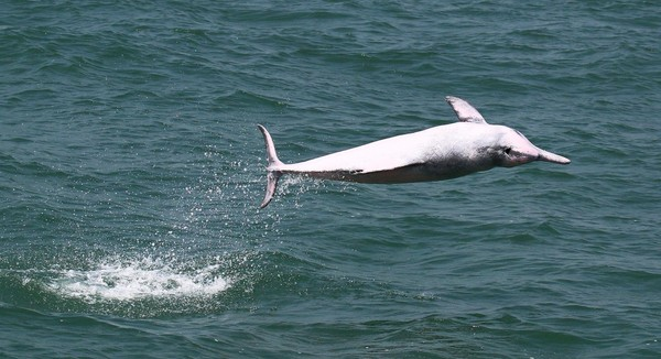 Foto: World Wildlife Foundation (WWF) dan Hong Kong Dolphin Conservation Society tidak tinggal diam. Program kampanye pelestarian lumba-lumba pink terus dilakukan tiap tahun (Foto: Dok. BBC Travel)