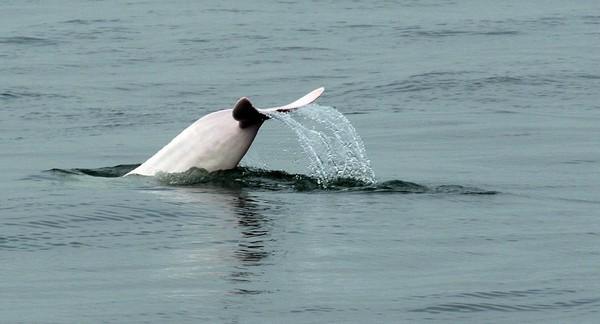Foto: Kalau di Hong Kong, lumba-lumba pink ini bisa traveler jumpai di dekat Pulau Lantau atau di desa nelayan Tai O. Itulah habitat utama mereka yang mana sering terlihat muncul ke permukaan (Foto: Dok. BBC Travel)