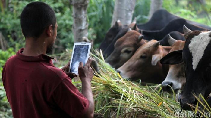 Pedagang sapi kurban di Lhokseumawe menjual dagangannya via online