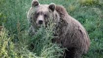 Wanita Asal AS Tewas Dibunuh Beruang Hitam