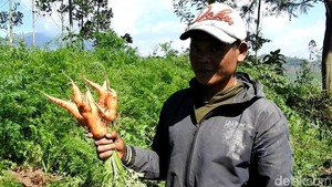 Penampakan Kebun Wortel Gemuk Ilegal Asal China