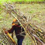 Bulog Wajib Beli Gula Petani Rp 9.700/Kg