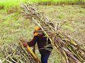 Pemerintah akan Serap Gula Petani Rp 9.700/Kg