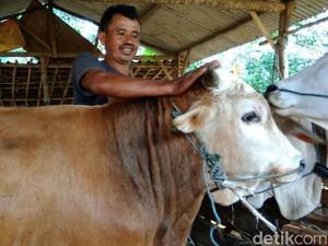 Hewan Kurban di Semarang Dipijat dan Diberi Jamu