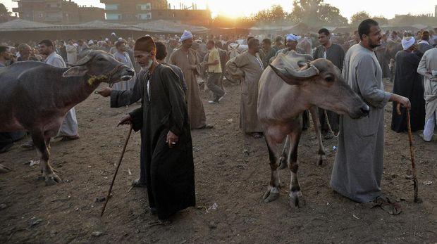 Harga sapi dan kambing adalah salah satu yang terpengaruh oleh inflasi di Mesir.