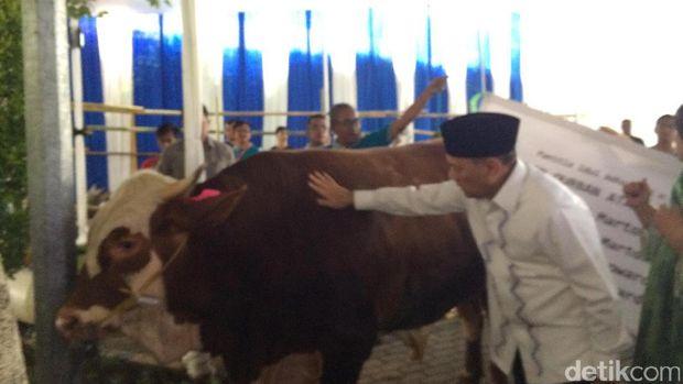 Gubernur BI elus sapi kurban sebelum dipotong