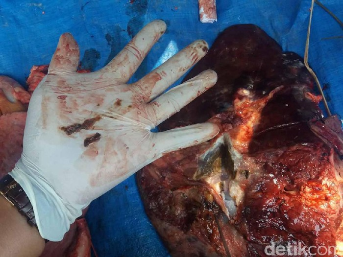 Beberapa hari usai Idul Adha muncul sejumlah laporan hewan kurban yang terjangkit parasit cacing hati. Termasuk salah satu di antaranya sapi pemberian Presiden Joko Widodo untuk warga di Bantul. (Foto ilustrasi: Uje Hartono/detikcom)