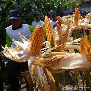 Jokowi Ubah HPP, Produksi Jagung Meningkat 4 Juta Ton