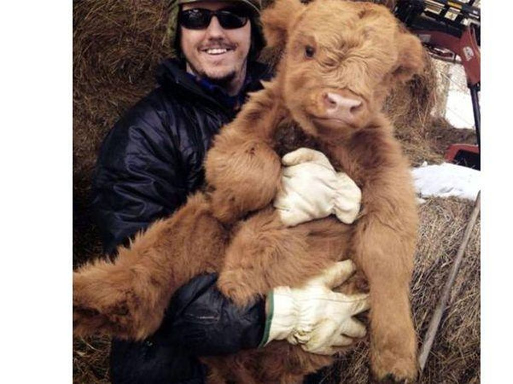 Anak sapi asal skotlandia ini sukses bikin gemas lantaran mirip sebuah boneka. Foto: istimewa
