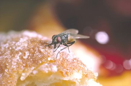 lalat hinggap di makanan