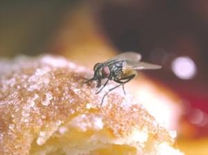 Lalat Mudah Sebarkan Bakteri, Hindari Makanan yang Sudah Dihinggapinya