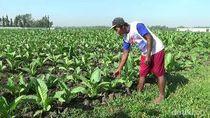 Musim Kemarau Berkah Bagi Petani Tembakau di Probolinggo
