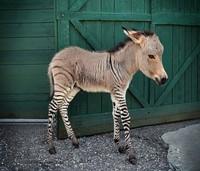hewan hybrid