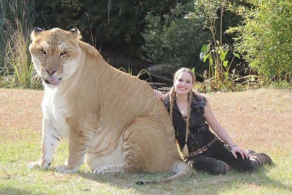 Hasil kawin silang antara Singa jantan dan Harimau betina ini dinamai Liger yang diambil dari kata Lion dan Tiger. Foto: istimewa