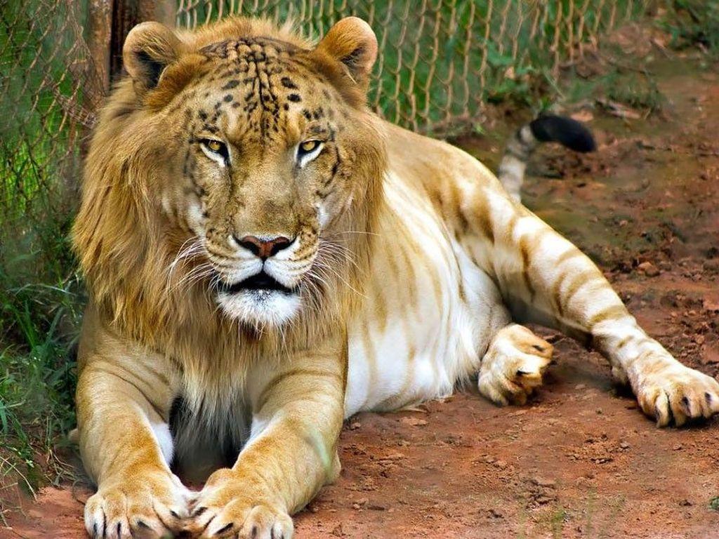 Konon ini adalah hasil perkawinan silang antara Harimau jantan dan Singa betina, yang dinamai Tigon. Berasal dari kata Tiger dan Lion. Foto: istimewa