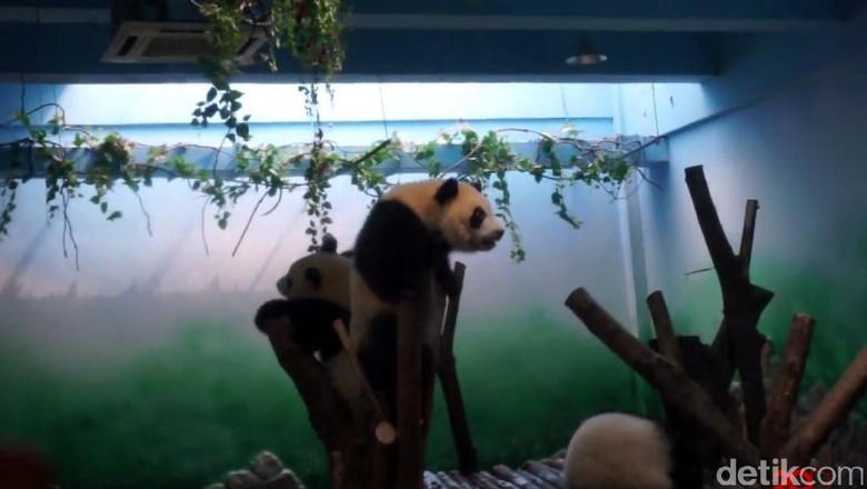 Panda di Chengdu