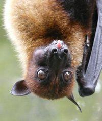 Pteropus vampyrus /