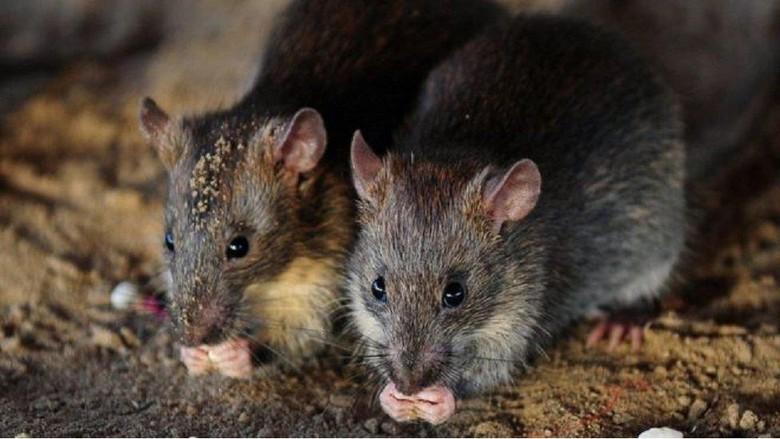 Gadis difabel dimutilasi kawanan tikus ketika sedang tidur