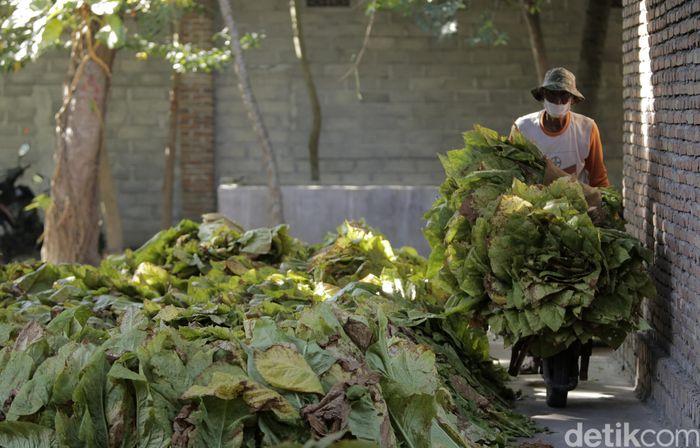 Aktivitas petani tembakau di Training Farm PT Sadhana Arifnusa, mitra pemasok tembakau PT HM Sampoerna Tbk. di Desa Puyung, Kecamatan Jonggat Loteng, Lombok Tengah, NTB. istimewa