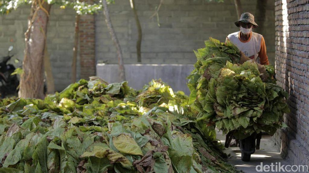 Melihat Aktivitas Petani Tembaku di Lombok