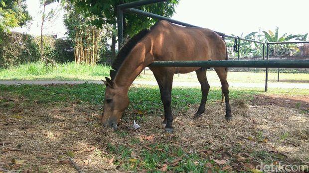 Kuda Chester sedang merumput /