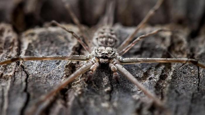 Digigit laba-laba beracun hingga tidak bisa berjalan. Foto ilustrasi: Ilustrasi violin spider (Thinkstock)