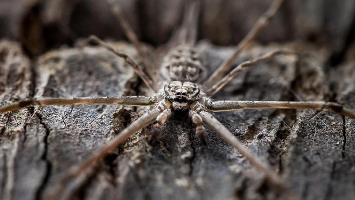 Diduga laba-laba yang mengigit Kiara dari jenis Loxosceles reclusa. (Foto: Ilustrasi Thinkstock)