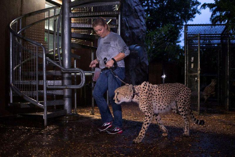 Kebun binatang Miami jadi salah satu titik yang terdampak badai Irma. Satwa-satwa penghuni kebun binatang ini pun ikut diungsikan. Tampak penjaga satwa Jennifer Nelson sedang menuntun cheetah untuk diamankan dari amukan badai Irma (Adrees Latif/Reuters)