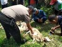 Ditemukan luka bekas gigitan dan cakaran pada tubuh kambing yang mati