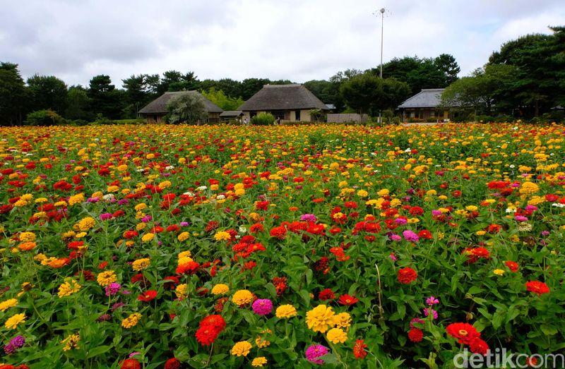 Hitachi Sea Side Park adalah taman seluas 190 hektar yang diisi oleh beragam jenis bunga yang indah dan sedap dipandang mata. Lokasinya ada di Hitachinaka, Prefektur Ibaraki sekitar 2 jam perjalanan dari Tokyo (Rachman/detikTravel)