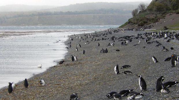 Penguin liar di Isla Martillo (Shafik Meghji/BBC)