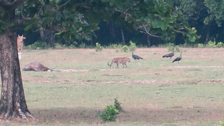 Dibilang Punah, Harimau Jawa Terpotret di Ujung Kulon!