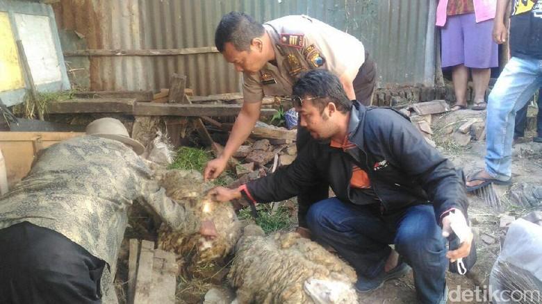 Kemarau Jadi Penyebab Vampire Dog Serang Kambing Warga