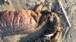 Penampakan Makhluk Misterius yang Terdampar di Pantai Texas