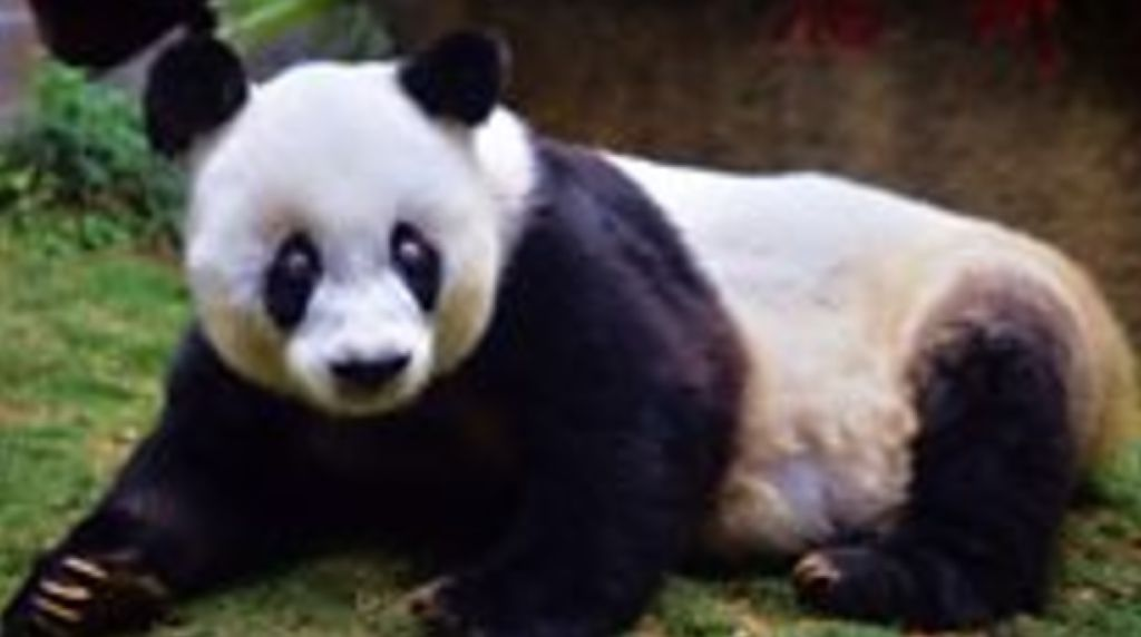 Video: Panda Tertua di Dunia Meninggal di Usia 37 Tahun
