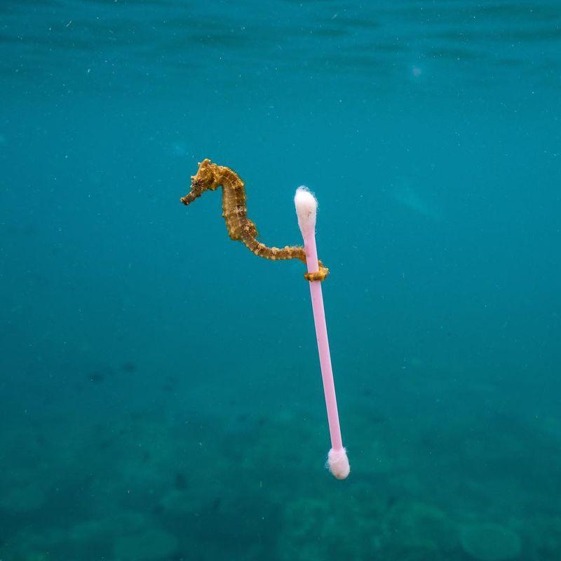 Kuda laut membawa cotton bud di Sumbawa. Dibagikan oleh akun Instagram Sea Legacy, organisasi yang bergerak di bidang konservasi laut, kuda laut satu ini melilitkan ekornya pada sebatang sampah cotton bud di sebuah pantai di Sumbawa (Justin Hofman/Instagram)