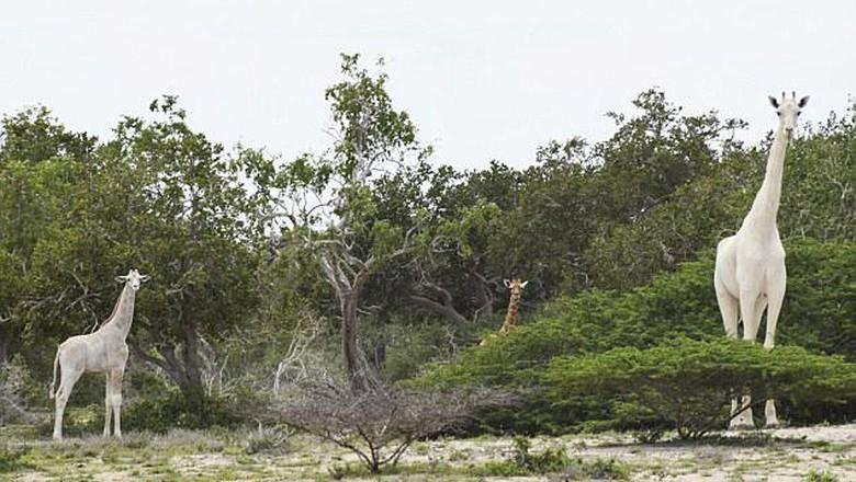 jerapah putih di Kenya