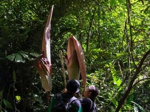 Bunga Bangkai Terbesar di Dunia Ditemukan di Riau