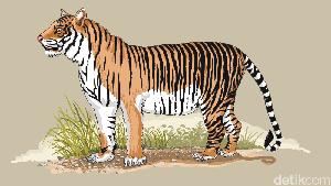 Harimau yang Gigit Arkat Kabur, Warga Diminta Waspada