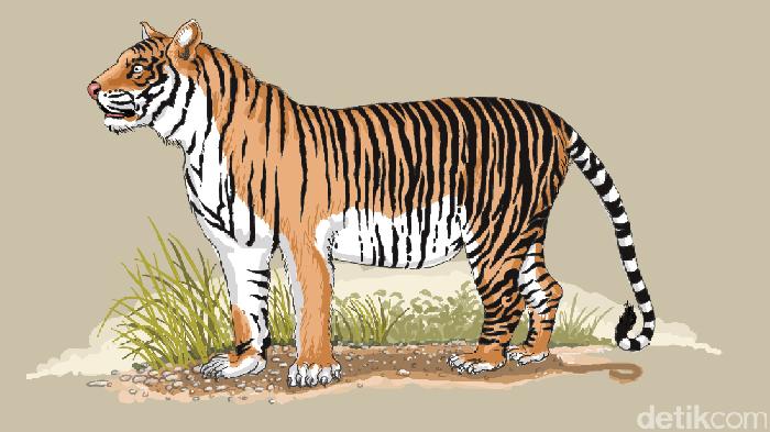 Ilustrasi harimau Jawa