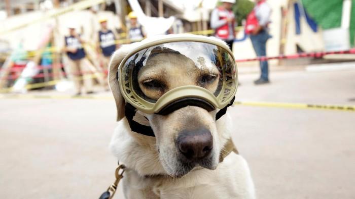 Frida anjing yang jadi ikon penyelamat Gempa Meksiko (Foto: Daniel Becerril/Reuters)