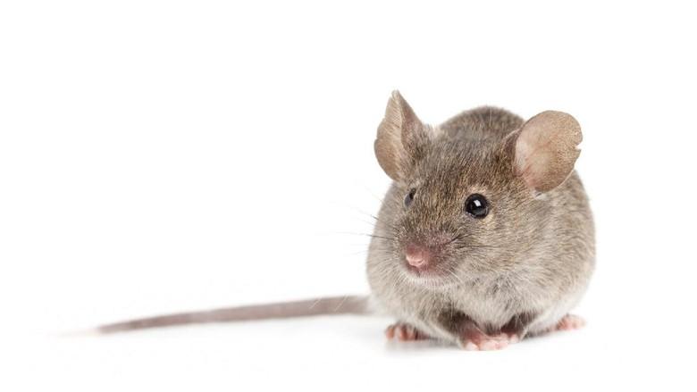 Ilustrasi tikus (Thinkstock)