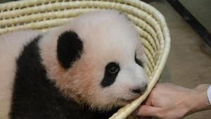 Bayi Panda Menggemaskan di Tokyo Akhirnya Punya Nama