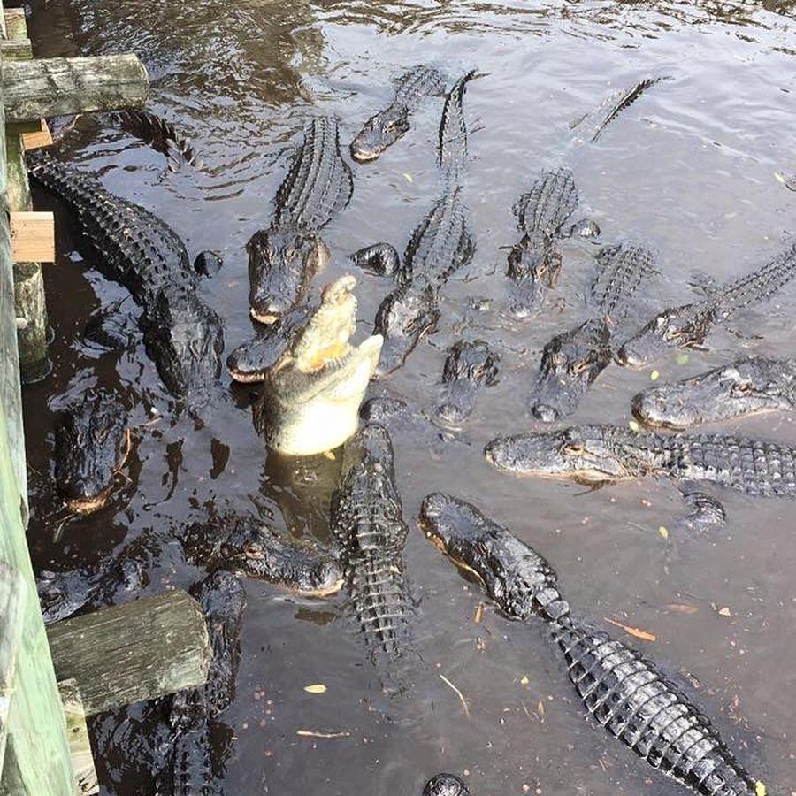 St Augustine Alligator Farm Zoological Park di Florida, AS, menjadi rumah bagi lebih dari 20 spesies buaya. Kalau berkunjung ke sana, banyak pilihan aktivitas wisata, seperti flying fox (staugalligatorfarm/Instagram)